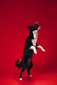 black and white dog standing on hind legs barking- Noisy tenants, neighbors, pets & cars – who's responsible?